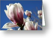 Magnolia Bloom Greeting Cards - Magnolia Greeting Card by Anne Babineau
