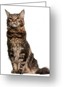 Coon Greeting Cards - Maine Coon (8 Months Old) Greeting Card by Life On White