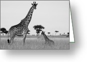 African Giraffes Greeting Cards - Meet My Little One Greeting Card by Michele Burgess