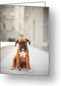 Animal Portrait Greeting Cards - 2 Month Old Boxer Puppy Standing In Alley Greeting Card by Diyosa Carter
