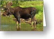 Rut Greeting Cards - Moose Greeting Card by Sebastian Musial