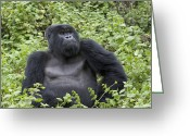 Ape. Great Ape Greeting Cards - Mountain Gorilla Large Silverback Male Greeting Card by Suzi Eszterhas