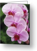 Phalaenopsis Orchid Greeting Cards - Orchid Flowers Greeting Card by Duncan Smith