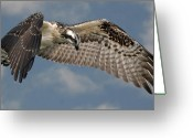 Osprey Photo Greeting Cards - Osprey Flight Greeting Card by Larry Linton