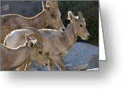 Peninsular Greeting Cards - Peninsular Bighorn Sheep Ovis Greeting Card by Rich Reid