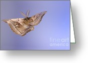Antheraea Polyphemus Greeting Cards - Polyphemus Moth Greeting Card by Ted Kinsman