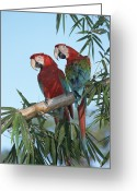 Ecosystem Greeting Cards - Red And Green Macaw Ara Chloroptera Greeting Card by Konrad Wothe