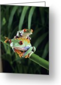Red Eyed Leaf Frog Greeting Cards - Red-eyed Tree Frogs Greeting Card by David Aubrey