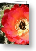 Arboretum Greeting Cards - Red Prickly Pear Blossom 1 Greeting Card by Ellen Henneke