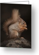 Dark Moss Green Photo Greeting Cards - Red Squirrel Greeting Card by Andy Astbury