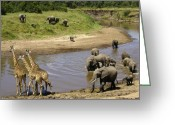 African Giraffes Greeting Cards - River Crossing Greeting Card by Michele Burgess
