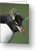 Threatened Species Greeting Cards - Rockhopper Penguin Eudyptes Chrysocome Greeting Card by Tui De Roy