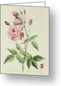 Bud Greeting Cards - Rosa Indica Vulgaris Greeting Card by Pierre Joseph Redoute