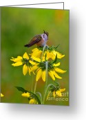 Colorado Creatures Greeting Cards - Rufous Hummingbird Greeting Card by Crystal Garner