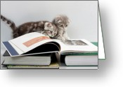 Curious Greeting Cards - Scottish Fold cats Greeting Card by Evgeniy Lankin