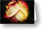 Cream Roses Greeting Cards - Single Rose Greeting Card by Cathie Tyler
