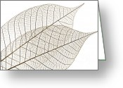 Brown Tones Photo Greeting Cards - Skeleton leaves Greeting Card by Elena Elisseeva
