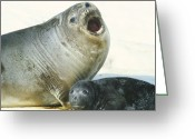 Protective Mother Greeting Cards - Southern Elephant Seals Greeting Card by Doug Allan