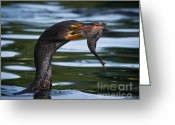 Phalacrocorax Auritus Greeting Cards - Success Greeting Card by Carl Jackson