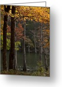 Oklahoma Landscape Greeting Cards - Tall Cypress Trees Greeting Card by Iris Greenwell