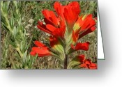 Upright Greeting Cards - Texas Paintbrush Greeting Card by Ellen Henneke