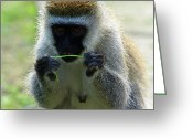 Primates Greeting Cards - Vervet Monkey Greeting Card by Aidan Moran