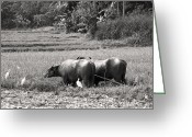 Agriculture Greeting Cards - Water buffalo Greeting Card by Jane Rix