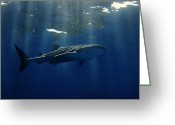 Animal Sport Greeting Cards - Whale shark Greeting Card by Ulrich Schade