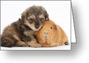 Cross Breed Greeting Cards - Yorkipoo Pup With Guinea Pig Greeting Card by Mark Taylor