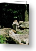 Beautiful Face Wolf Greeting Cards - The Wild Wolve Group A Greeting Card by Debra     Vatalaro