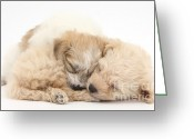 Bichon Greeting Cards - Bichon Frise & Yorkshire Terrier Greeting Card by Mark Taylor
