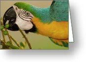 Ara Ararauna Greeting Cards - Blue And Yellow Macaw Ara Ararauna Greeting Card by Pete Oxford