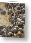Maasai Mara Greeting Cards - Blue Wildebeest Connochaetes Taurinus Greeting Card by Suzi Eszterhas