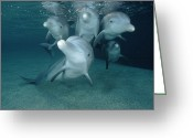 Bottle-nosed Dolphin Greeting Cards - Bottlenose Dolphin Underwater Pair Greeting Card by Flip Nicklin