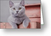 Playful Kitten Greeting Cards - British shorthair kitten Greeting Card by Waldek Dabrowski