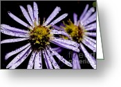 Aster  Photo Greeting Cards - Bushy Aster with Dew Greeting Card by Thomas R Fletcher