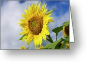Blurry Greeting Cards - Close up of sunflower Greeting Card by Bernard Jaubert