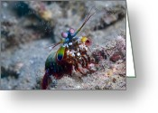 Antenna Greeting Cards - Close-up View Of A Mantis Shrimp, Papua Greeting Card by Steve Jones