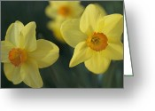 Spring Scenes Greeting Cards - Close View Of Early Spring Daffodils Greeting Card by Darlyne A. Murawski