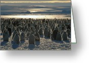 Large Group Greeting Cards - Emperor Penguin Aptenodytes Forsteri Greeting Card by Pete Oxford
