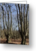 Iceni Greeting Cards - Epping forest Greeting Card by David Pyatt