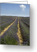 Essential Greeting Cards - Field of lavender. Provence Greeting Card by Bernard Jaubert