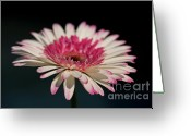 Watermelon Photo Greeting Cards - Gerbera Greeting Card by Amanda Barcon