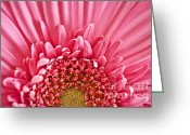 Gerbera Greeting Cards - Gerbera flower Greeting Card by Elena Elisseeva