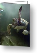 Sabah Greeting Cards - Green Sea Turtle Chelonia Mydas Greeting Card by Tim Fitzharris