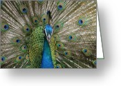 Exotic Birds Greeting Cards - Indian Blue Peacock Greeting Card by Sharon Mau