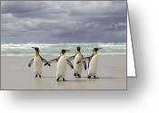 Four Animals Greeting Cards - King Penguin Aptenodytes Patagonicus Greeting Card by Ingo Arndt