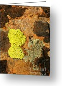 Lichen Image Greeting Cards - Lichen Greeting Card by Patrick  Short