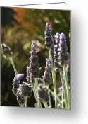 Fragrant Flowers Greeting Cards - Lovely Lavender Greeting Card by Ellen Henneke