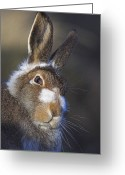 Hare Greeting Cards - Mountain Hare Greeting Card by Duncan Shaw